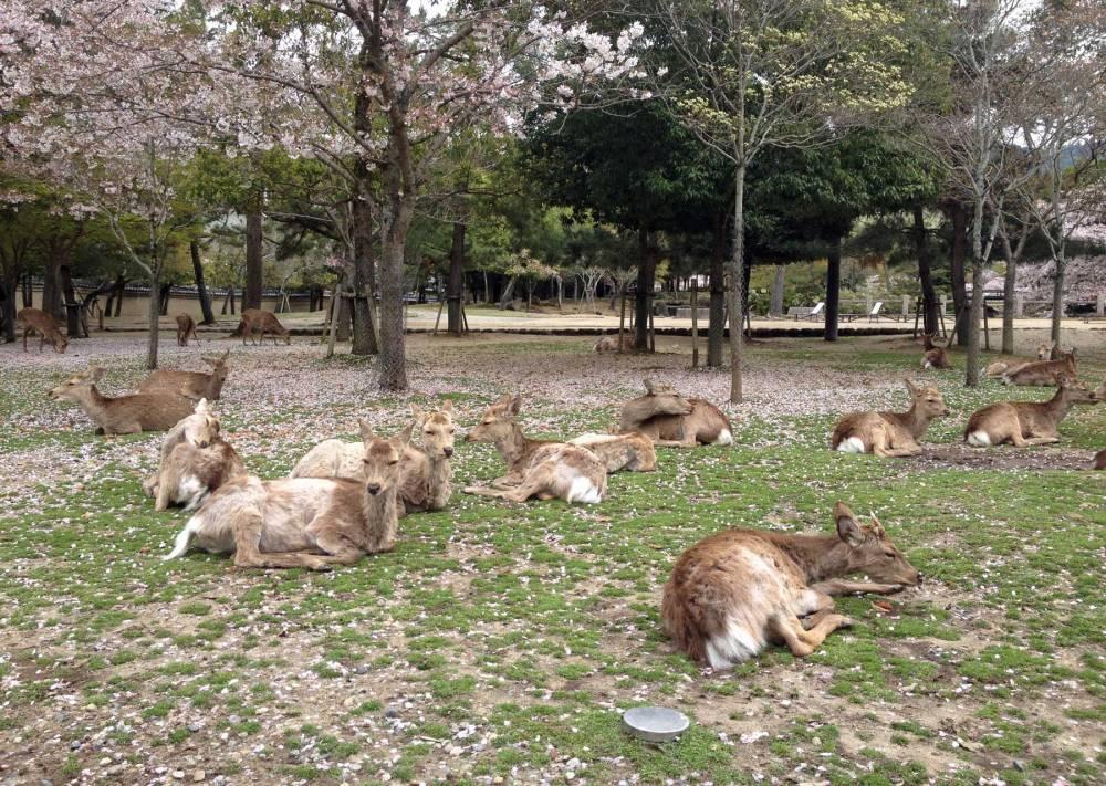 Hirsche in Nara in Japan
