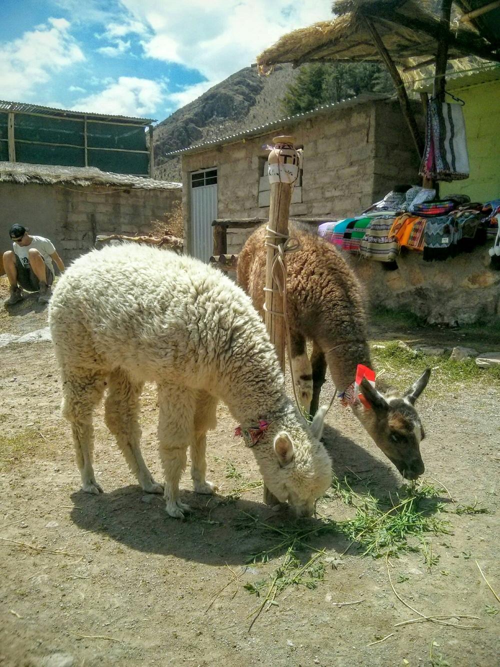 Lama und Alpaka in Peru