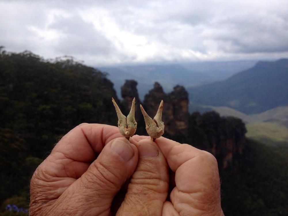 Hände halten Samen aus den Blue Mountains in Australien